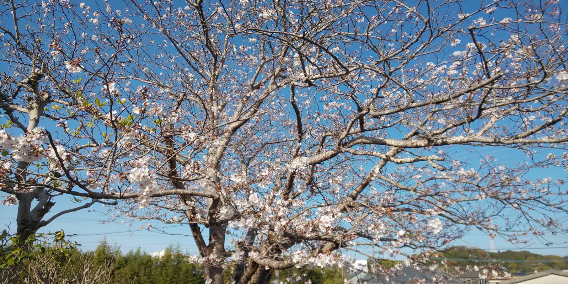 cafe cerisier en fleur